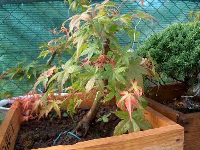 Acer Palmatum Beni Stukasa com estilo Bakan- Muito sol, agua e adubos