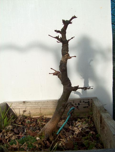 Acer Palmatum Beni Stukasa com estilo Bakan- Poda de estrutura de fim de Inverno