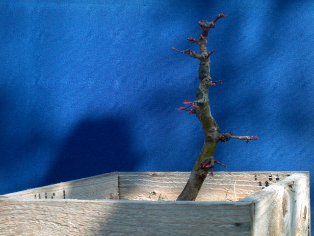 Acer Palmatum Beni Stukasa com estilo Bakan- Arranque de Primavera