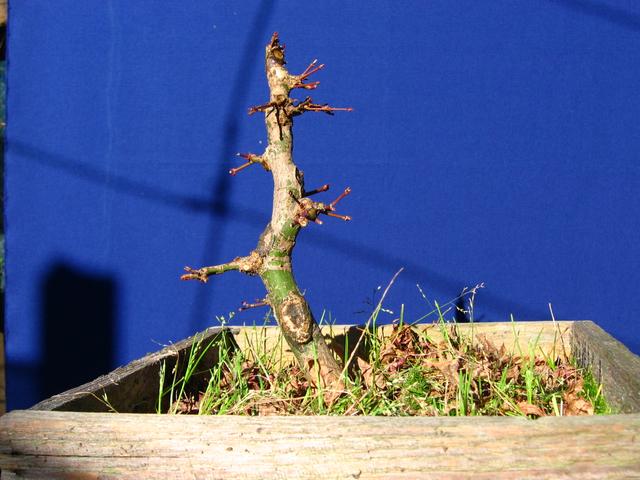 Acer Palmatum Beni Stukasa com estilo Bakan- Foto do outro lado, para analise do tronco