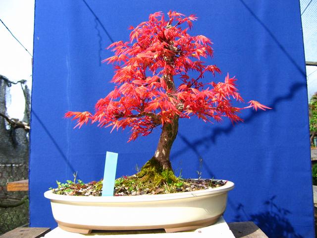 Acer Palmatum Beni Stukasa com estilo Bakan- Metsumi e admirar a beleza das cores de primavera
