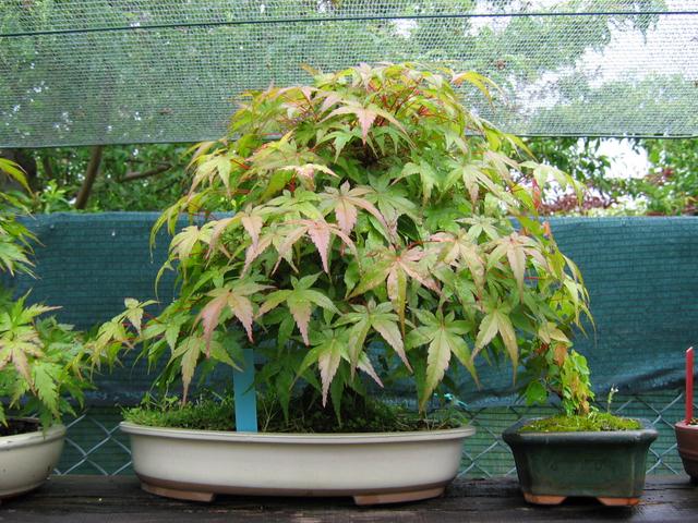 Acer Palmatum Beni Stukasa com estilo Bakan- Foto para vermos a mudança de cor das folhas
