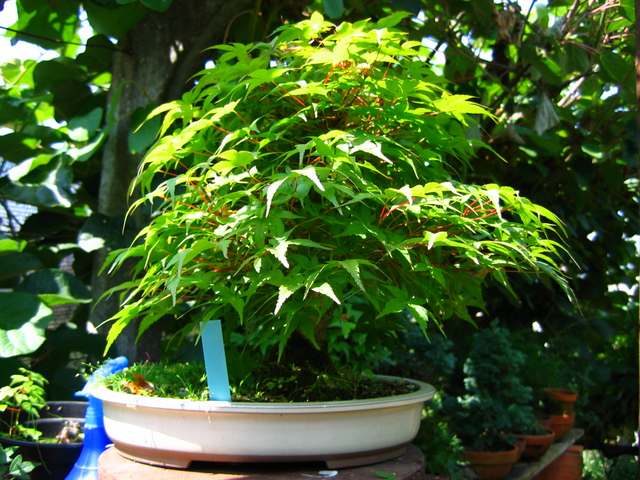 Acer Palmatum Beni Stukasa com estilo Bakan- Transição da cor das folhas esta completa