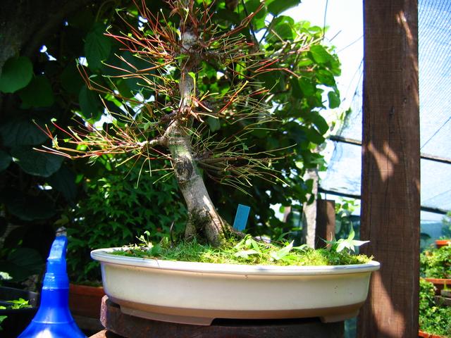 Acer Palmatum Beni Stukasa com estilo Bakan- Defoliação do Acer palmatum Beni Tsukasa
