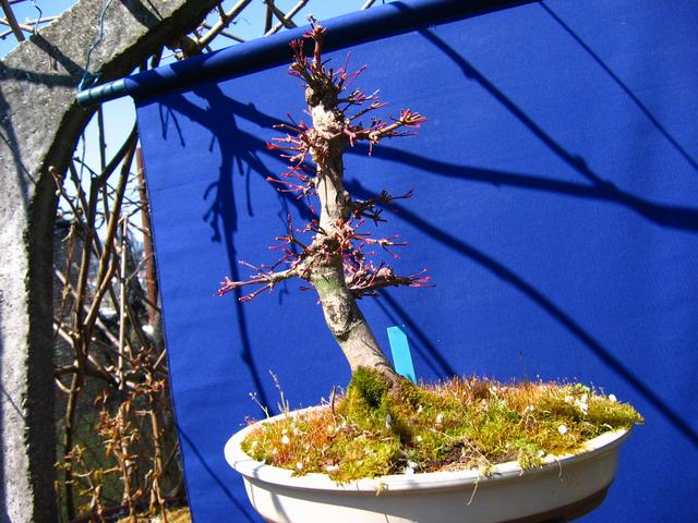Acer Palmatum Beni Stukasa com estilo Bakan- Foto depois da poda de inverno
