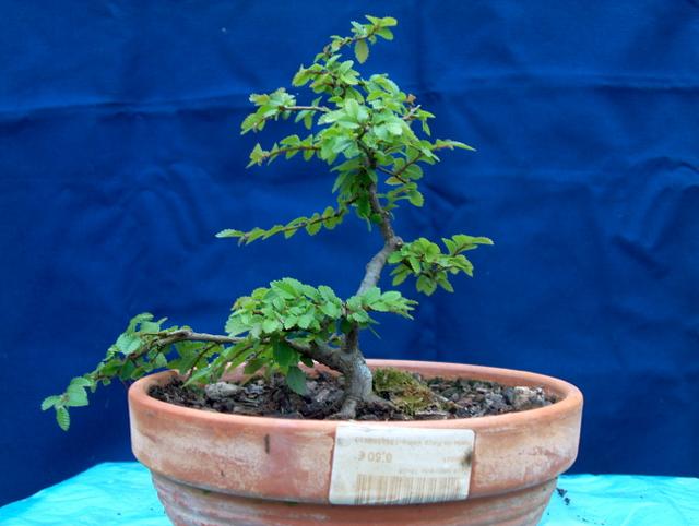 Primeiro bonsai Ulmus Parvifolia - História deste bonsai Ulmus Parvifolia