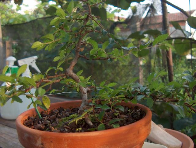 Primeiro bonsai Ulmus Parvifolia - Formação do Ulmus Parvifolia