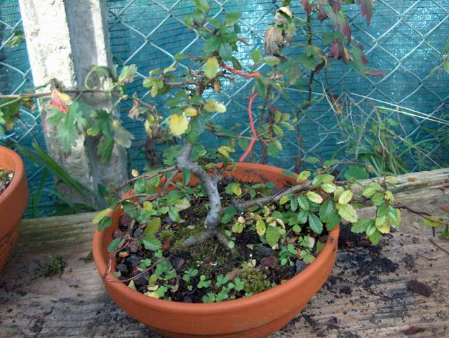 Primeiro bonsai Ulmus Parvifolia - Fim de Inverno, poda e colocação de Arames