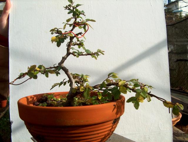 Primeiro bonsai Ulmus Parvifolia - Amaração com arames refeita.