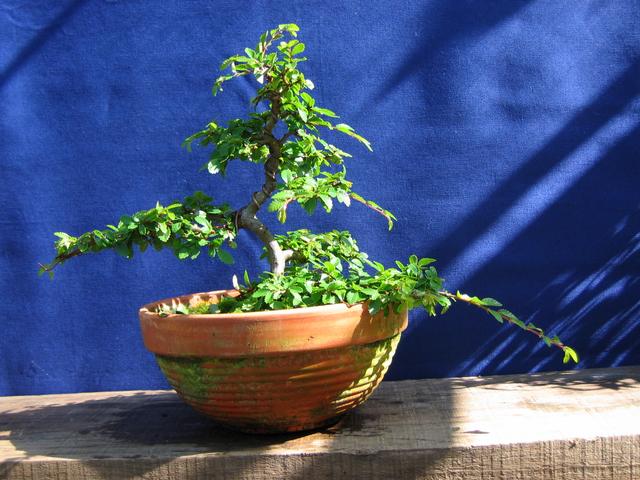 Primeiro bonsai Ulmus Parvifolia - Remoção de arames e re-colocação dos mesmos.