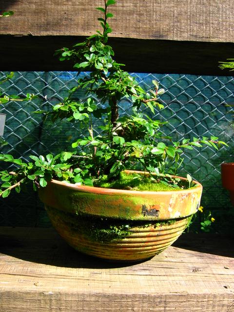 Primeiro bonsai Ulmus Parvifolia - Poda geral, e remoção de arames