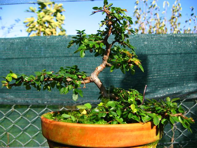 Primeiro bonsai Ulmus Parvifolia - Mais uma pode de controlo dos tufos de folhas
