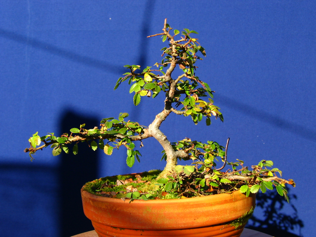Primeiro bonsai Ulmus Parvifolia - Foto de Inverno do bonsai