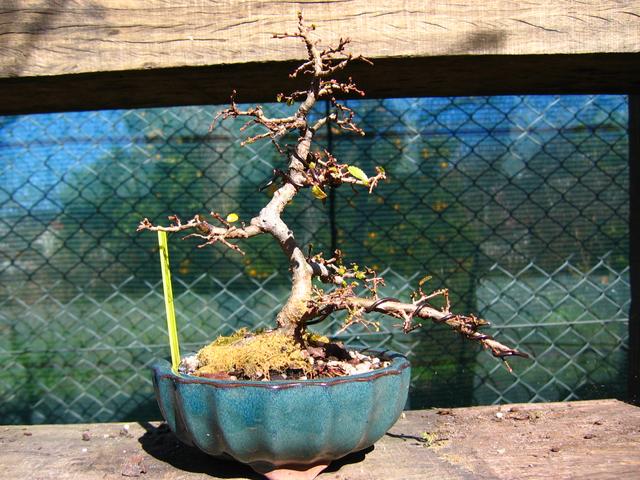 Primeiro bonsai Ulmus Parvifolia - Poda de reajustamento de forma e mudança de vaso