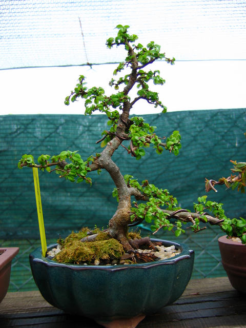 Primeiro bonsai Ulmus Parvifolia - Arranque de Primavera do Ulmus um pouco tarde