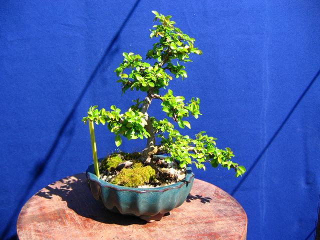 Primeiro bonsai Ulmus Parvifolia - O Apex esta a ficar demasiado grande