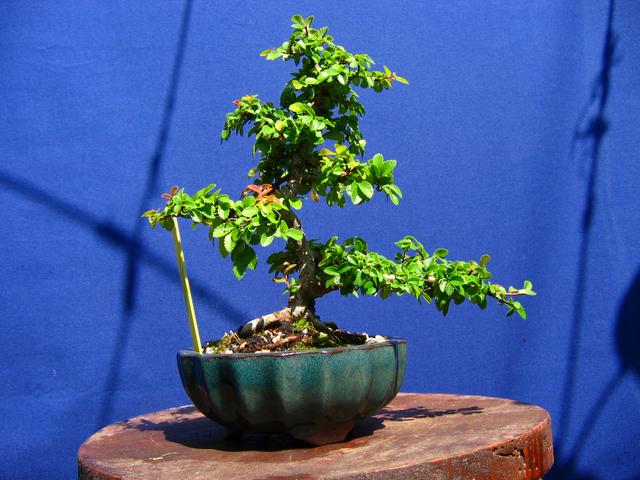 Primeiro bonsai Ulmus Parvifolia - Poda de controlo de tufos.