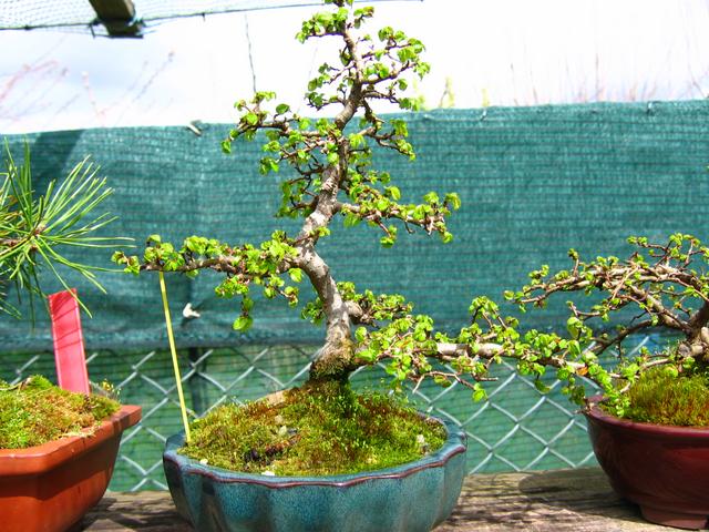 Primeiro bonsai Ulmus Parvifolia - Poda de inicio de primavera