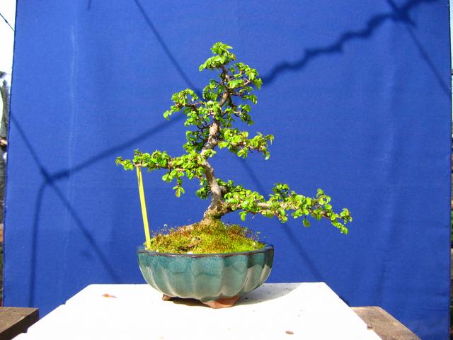 Primeiro bonsai Ulmus Parvifolia - Analise de estrutura do Ulmus Parvifolia