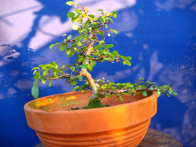Primeiro bonsai Ulmus Parvifolia - Depois de um problema de seca no verão