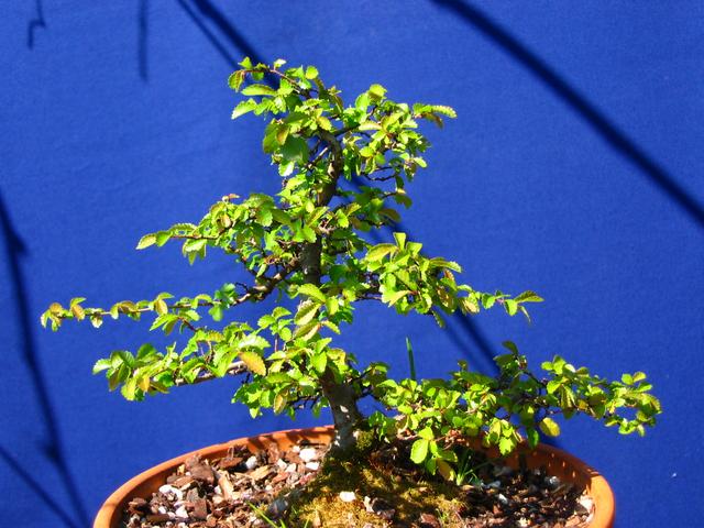 Primeiro bonsai Ulmus Parvifolia - Recuperação da arvore foi muito positiva