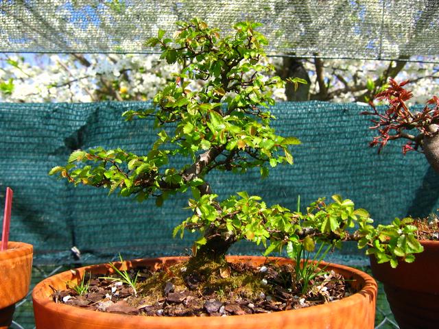 Primeiro bonsai Ulmus Parvifolia - Pequena poda, depois de ter a certeza que a arvore esta de boa saúde