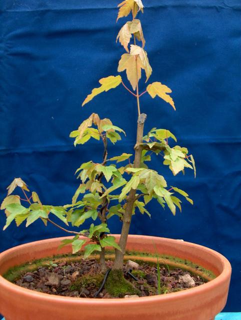 Bonsai tipo Mae filho de Acer Buergerianum- Colocação do Acer Trident em vaso de engorda e colocação de arames