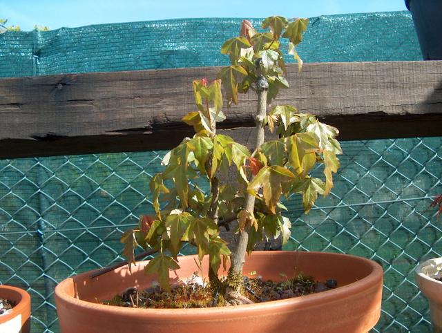 Bonsai tipo Mae filho de Acer Buergerianum- Inicio de adubação do Acer Buergerianum