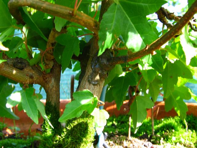 Bonsai tipo Mae filho de Acer Buergerianum- Pormenor de enxerto em Acer trident