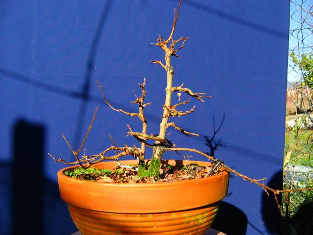 Bonsai tipo Mae filho de Acer Buergerianum- Analise do acer buergerianum durante o Inverno