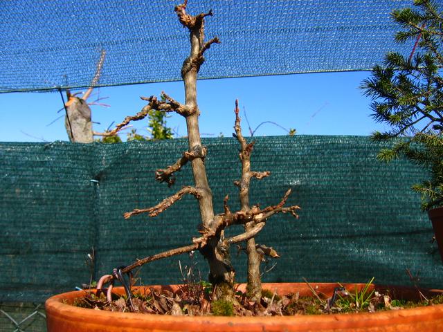 Bonsai tipo Mae filho de Acer Buergerianum- Depois da poda de inverno, mais um ano com o enxerto