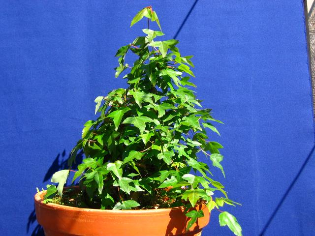 Bonsai tipo Mae filho de Acer Buergerianum- Foto do Acer Tridente em plena força