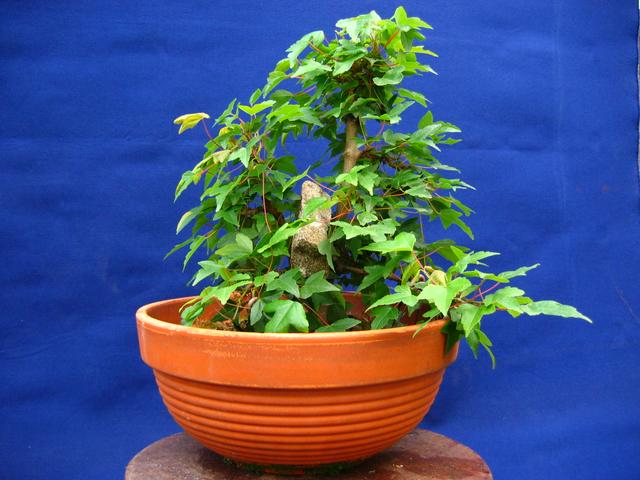 Bonsai tipo Mae filho de Acer Buergerianum- Utilização de um pedra para aumentar a distancia entre troncos