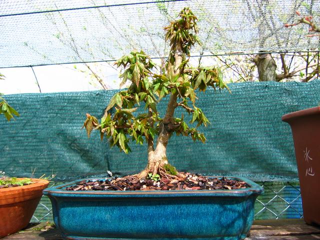 Bonsai tipo Mae filho de Acer Buergerianum- Corte do enxerto, muda e poda geral do Acer buergerianum