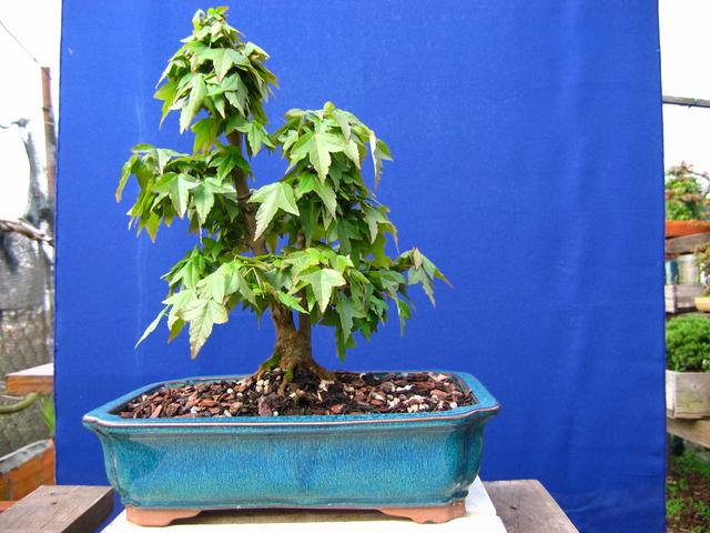 Bonsai tipo Mae filho de Acer Buergerianum- Ligeira poda e metsumi no Bonsai