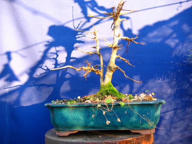 Bonsai tipo Mae filho de Acer Buergerianum- Analise da arvore para a poda de inverno