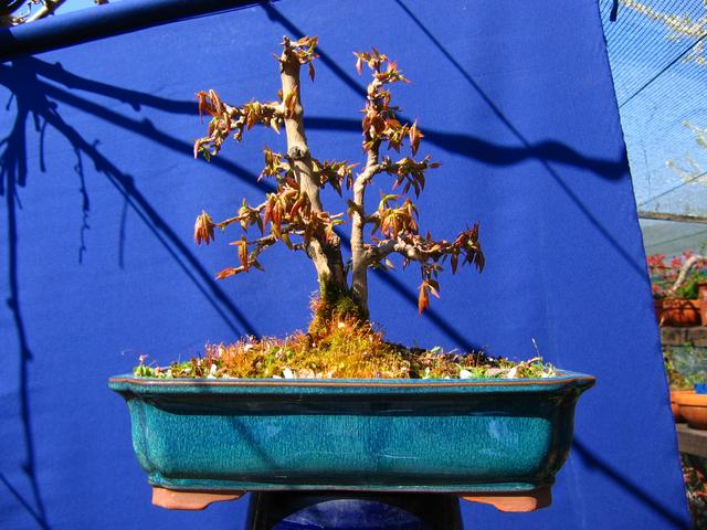 Bonsai tipo Mae filho de Acer Buergerianum- Depois da poda de inverno com os rebentos de Primavera