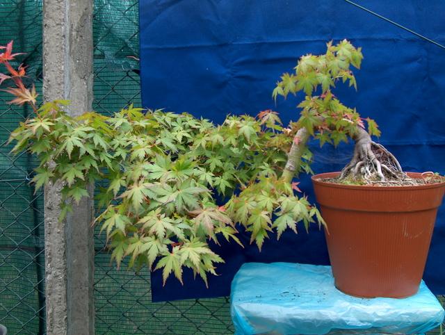 Acer Palmatum em estilo Han Kengai- Pequeno resumo da criação deste Acer Palmatum em cascata