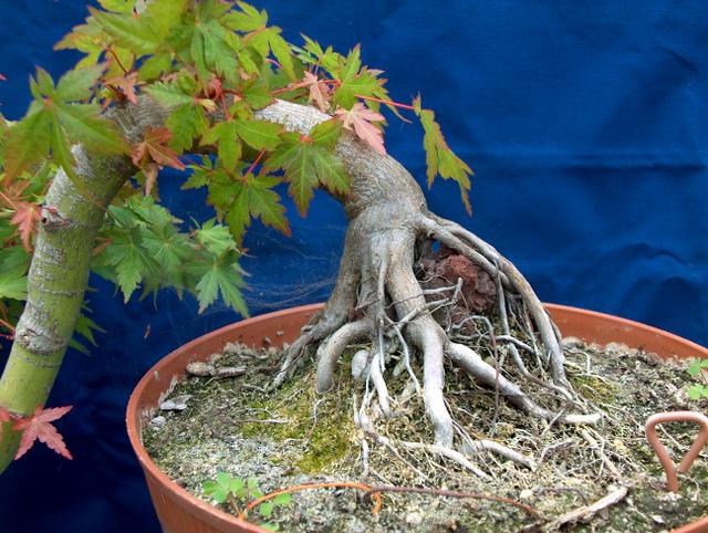 Acer Palmatum em estilo Han Kengai- Pormenor do nebari deste Acer Plamatum em cascata