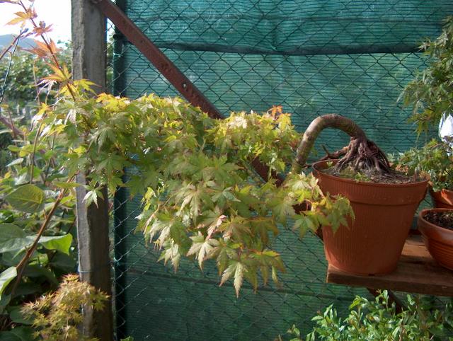 Acer Palmatum em estilo Han Kengai- Poda para libertar o tronco principal