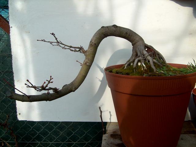 Acer Palmatum em estilo Han Kengai- Poda de Inverno e analise da forma do Acer Palmatum