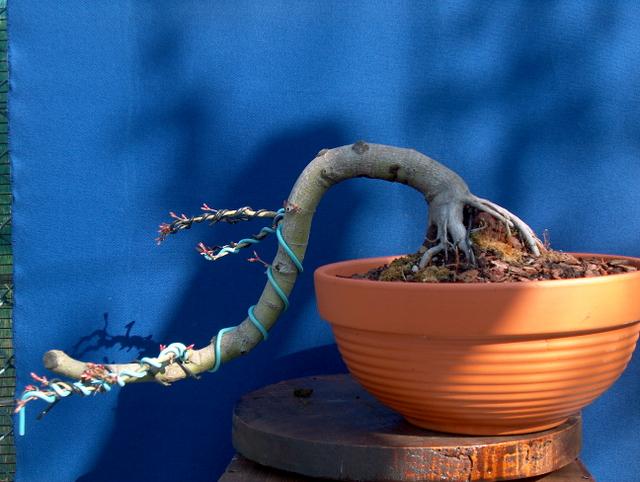 Acer Palmatum em estilo Han Kengai- Muda de vaso e colocação de arames neste Acer Palmatum