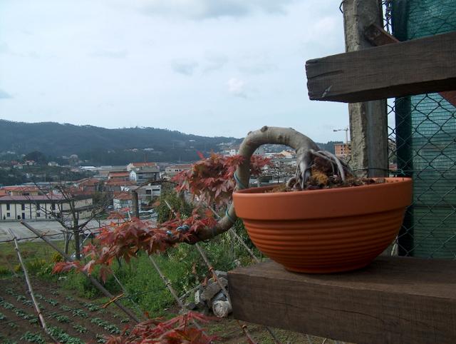 Acer Palmatum em estilo Han Kengai- Analide dos tufos das folhas de Acer Palmatum em cascata