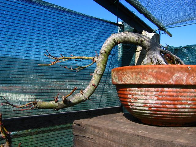 Acer Palmatum em estilo Han Kengai- Poda de inverno e recuperação do Apex do Acer Palmatum