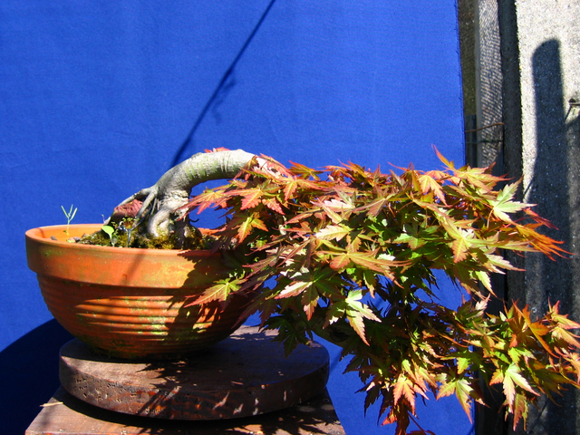 Acer Palmatum em estilo Han Kengai- Aumento dos patamares da cascata