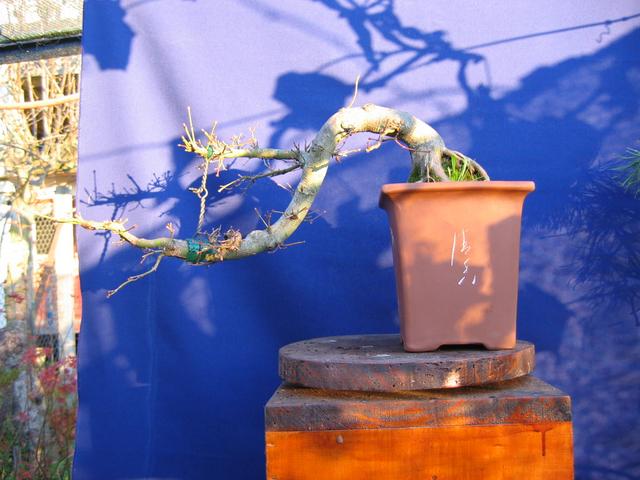 Acer Palmatum em estilo Han Kengai- Poda de inverno e colocação de garrote para aproximar ramos.