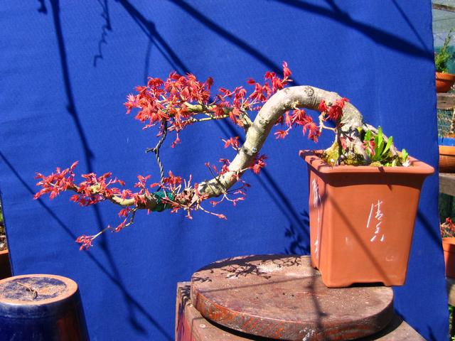 Acer Palmatum em estilo Han Kengai- Modelação de um novo patamar de folhas no Han Kengai