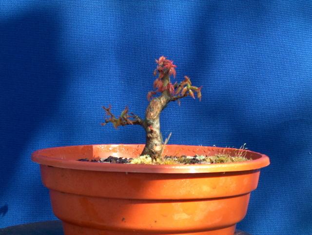 Shohin de Acer buergerianum informal recto - Mudança de Vaso e poda de raizes do Acer buergerianum