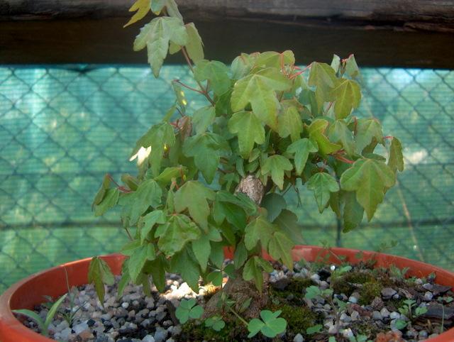 Shohin de Acer buergerianum informal recto - Crescimento do bonsai de Acer buergerianum