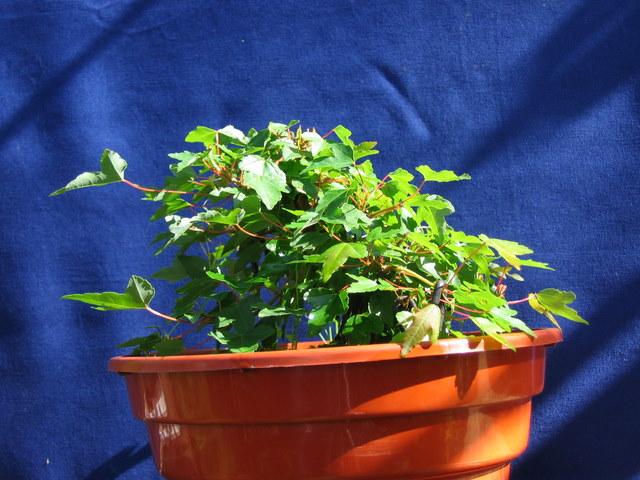Shohin de Acer buergerianum informal recto - Ligeira poda do Apex do bonsai